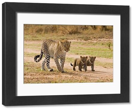 African Leopard (Panthera pardus pardus) adult female with two cubs, walking, Masai Mara, Kenya