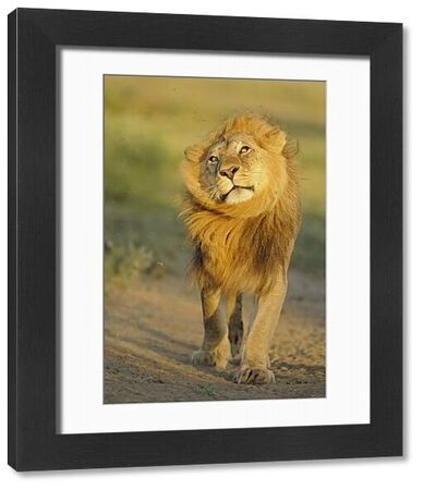 Lion (Panthera leo) adult male, shaking flies from head and mane in morning sunlight, Serengeti N.P., Tanzania