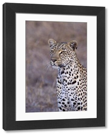 88889-06792-075. African Leopard - South Africa