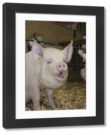 Domestic Pig, Middle White gilt, with mouth open, sitting in pen, National Pig Show and Sale, Ross-on-Wye, Herefordshire, England, october