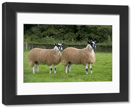 Domestic Sheep, North of England Mule gimmer lambs, two standing in pasture, Leyburn, North Yorkshire, England