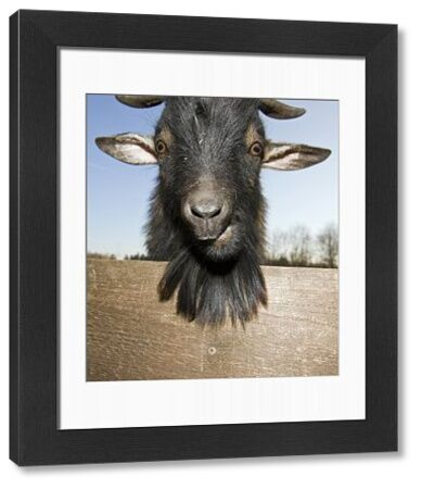 88887-00741-689. Domestic goat portrait, Capra hircus, Germany, Bavaria
