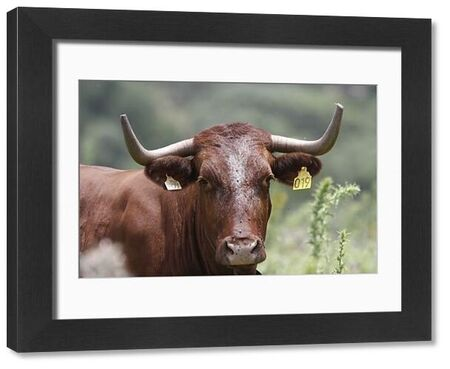 88889-08698-075. Domestic Cattle, Andalucian Long horned cattle, with ear tags - Spain
