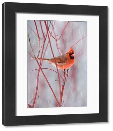 Northern Cardinal (Cardinalis cardinalis) adult male, perched on red twig in snowfall, U.S.A., winter