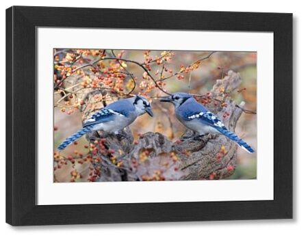 Blue Jay (Cyanocitta cristata) two adults, perched on branch beside bittersweet, U.S.A., autumn