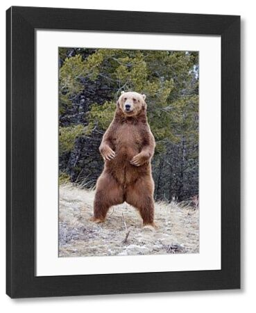 Grizzly Bear (Ursus arctos horribilis) adult, standing on hind legs, Montana, U.S.A., january (captive)
