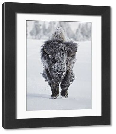 North American Bison (Bison bison) adult male, with coat covered in ice, walking on snow, Yellowstone N.P., Wyoming, U.S.A., february