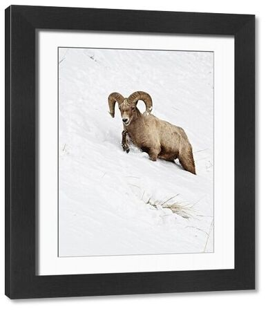Bighorn Sheep (Ovis canadensis) adult male, walking on slope, struggling in deep snow, Yellowstone N.P., Wyoming, U.S.A., february
