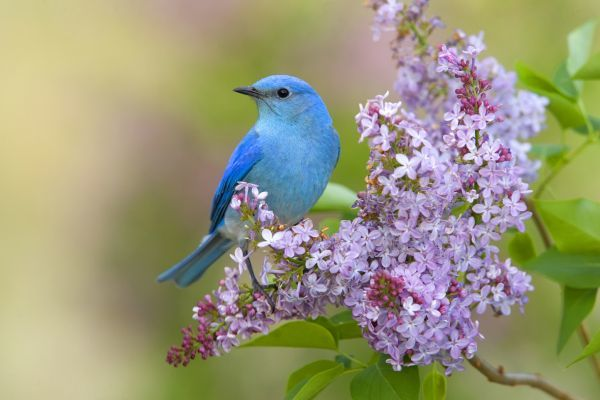Mountain Bluebird (Sialia currucoides) adult male, perched on flowering lilac, U.S.A