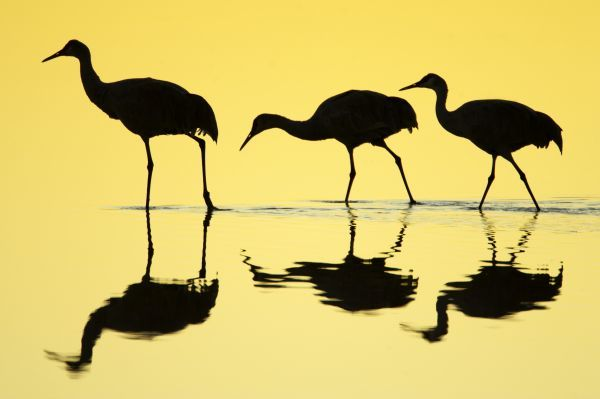 Sandhill Crane (Grus canadensis) three, walking in water with reflections, silhouetted at dawn, Bosque del Apache National Wildlife Refuge, New Mexico, U.S.A