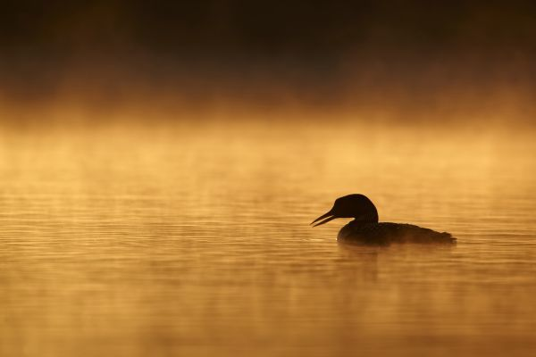 Great Northern Diver (Gavia immer) adult, summer plumage, silhouetted on lake at sunrise, North Michigan, U.S.A., june