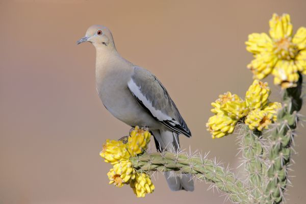 01918-00030-107. White-winged Dove (Zeniada asiatica) adult, perched on cholla, U.S.A