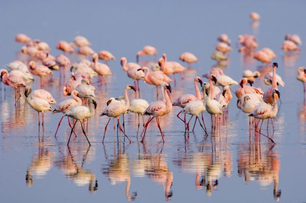 02274-00398-850. Lesser Flamingo (Phoenicopterus minor) adults