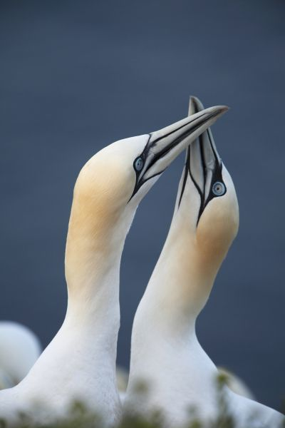Northern Gannet (Morus bassanus) adult pair, close-up of heads and necks, displaying, Heligoland, Schleswig-Holstein, Germany, may