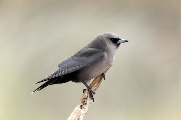 Black-faced Woodswallow (Artamus cinereus) adult, perched on branch, Outback, Northern Territory, Australia