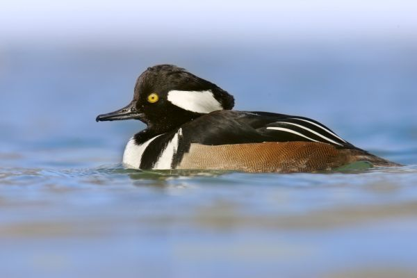 02993-00025-107. Hooded Merganser (Lophodytes cucullatus) adult male, swimming, U.S.A