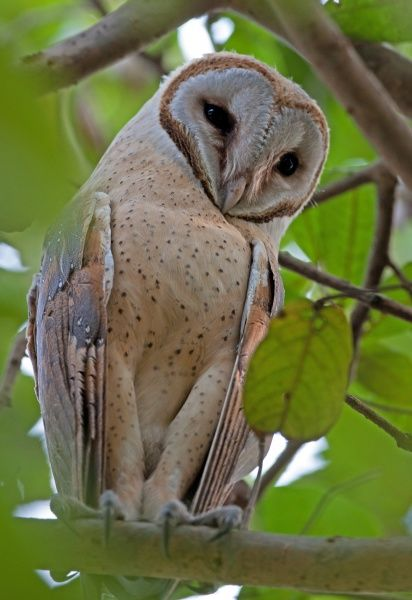 Barn Owl (Tyto alba stertens) adult, perched on branch, Guwahati, Assam, India, january
