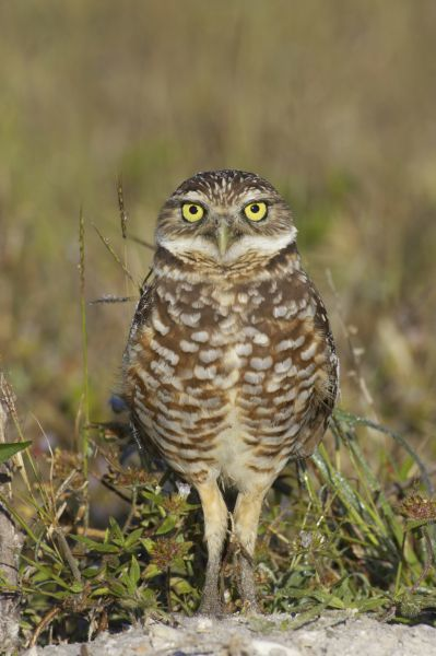 Burrowing Owl (Speotyto cunicularia) adult, standing, Marco Island, Florida, U.S.A