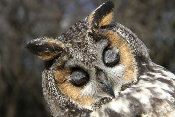 Long-eared Owl (Asio otus) adult, close-up of head, with eyes closed, Scotland, october