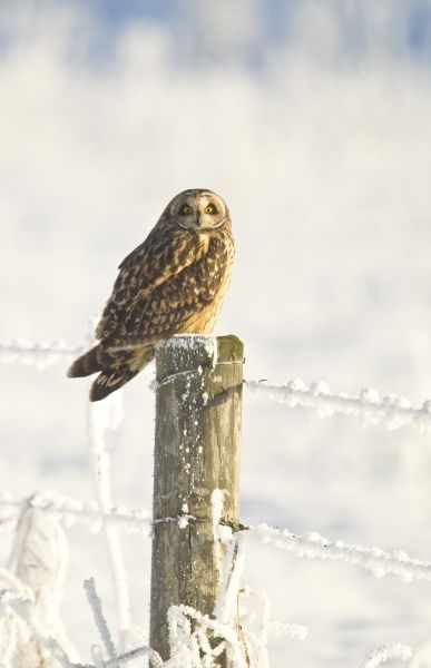 Short-eared Owl (Asio flammeus) adult, perched on fencepost in snow, North Lincolnshire, England, december