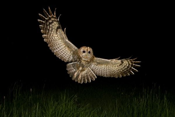 Tawny Owl (Strix aluco) adult, in flight over meadow at night, Shropshire, England, april
