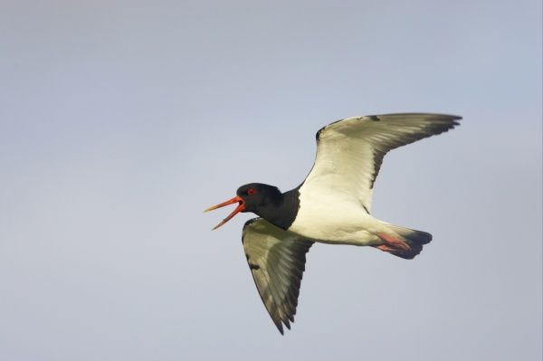Eurasian Oystercatcher (Haematopus ostralegus) adult, calling in flight, Yell, Shetland Islands, Scotland