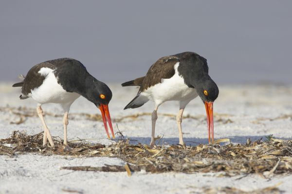 American Oystercatcher (Haematopus palliatus) adult pair, displaying on beach, Fort de Soto, Florida, U.S.A
