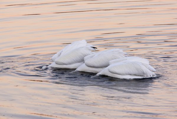 American White Pelican (Pelecanus erythrorhynchos) three adults, collective feeding on water at dusk, Bodega Bay, California, U.S.A