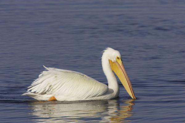 American White Pelican (Pelecanus erythrorhynchos) adult, non-breeding plumage, swimming, Ding Darling N.W.R., florida, USA