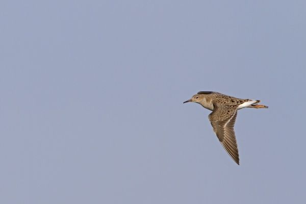 Ruff (Philomachus pugnax) adult male, winter plumage, in flight, Norfolk, England, january