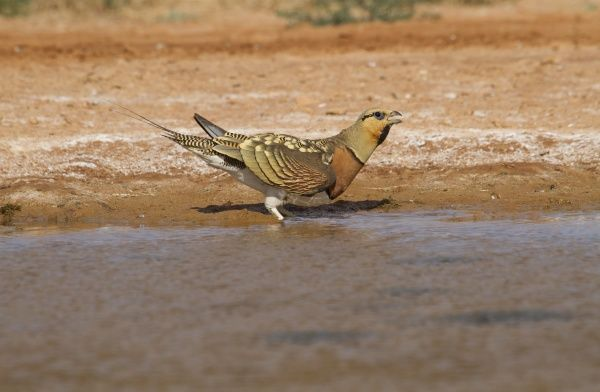 Pin-tailed Sandgrouse (Pterocles alchata) adult male, drinking at pool, Aragon, Spain, july