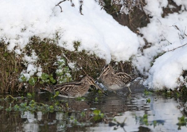 Common Snipe (Gallinago gallinago) two adults, feeding in water at edge of snow covered bank, Norfolk, England, december