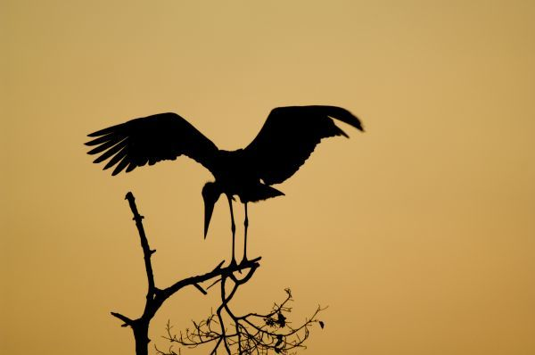 Marabou Stork (Leptoptilos crumeniferus) adult, with wings spread, silhouetted on branch at sunset, Tarangire N.P., Tanzania