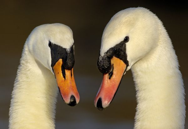 Mute Swan (Cygnus olor) adult pair, in courtship display, close-up of heads, Nottinghamshire, England, february