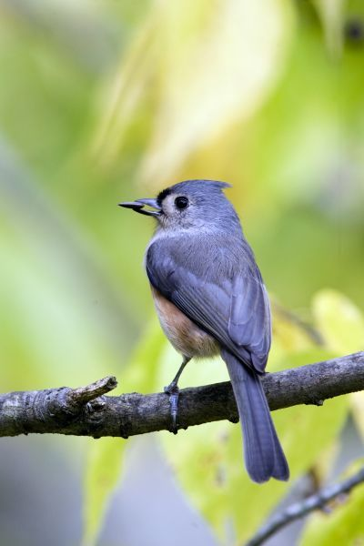 Tufted Titmouse (Baeolophus bicolor) adult, feeding, with sunflower seed in beak, perched on twig, U.S.A