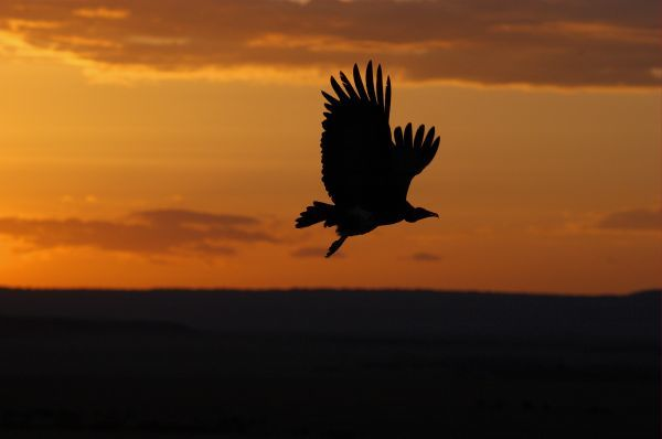 Hooded Vulture (Necrosyrtes monachus) in flight, silhouette at sunset, Masai Mara, Kenya
