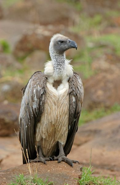 04250-00174-676. White-backed Vulture (Gyps africanus) adult, Masaii Mara, Kenya