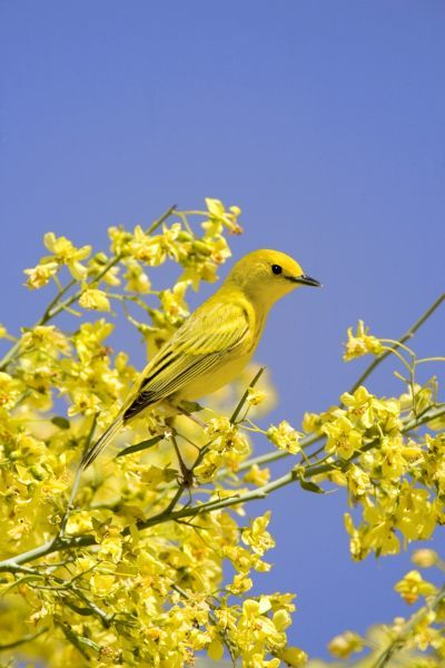 Yellow Warbler (Dendroica petechia) adult male, perched in flowering palo verde, U.S.A