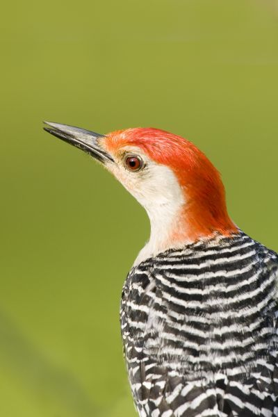 Red-bellied Woodpecker (Melanerpes carolinus) adult male, close-up of head, U.S.A