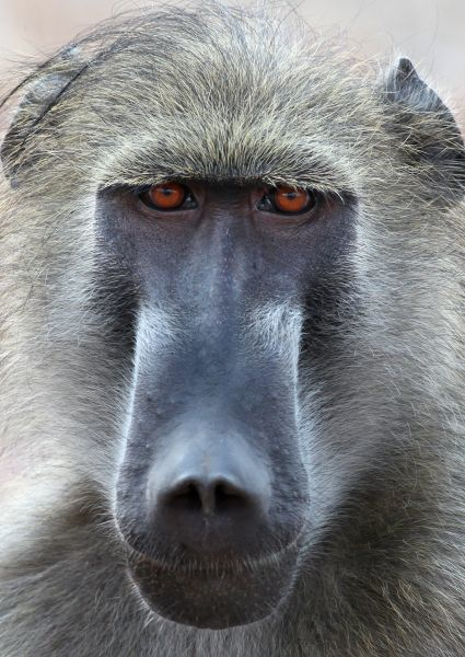 Chacma Baboon (Papio ursinus) adult male, close-up of head, Chobe N.P., Botswana