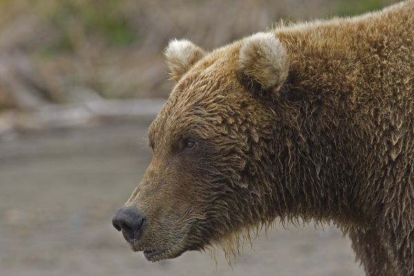 Grizzly Bear (Ursus arctos horribilis) adult, close-up of head, Hallo Bay, Katmai N.P., Alaska, U.S.A