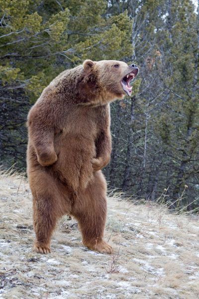 Grizzly Bear (Ursus arctos horribilis) adult, growling, standing on hind legs, Montana, U.S.A., january (captive)