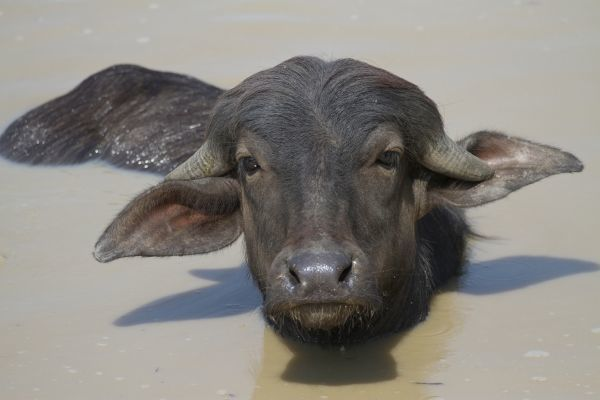 Domestic Water Buffalo (Bubalis bubalis) calf, wallowing in water, Pantanal, Mato Grosso, Brazil