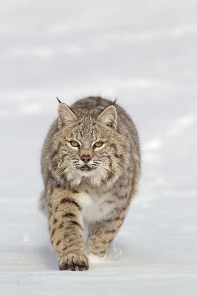 Bobcat (Lynx rufus) adult, walking in snow, Montana, U.S.A., january (captive)