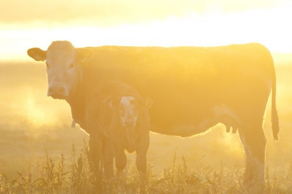 Domestic Cattle, cow with calf, standing on coastal grazing marsh at dawn, Elmley Marshes N.N.R., North Kent Marshes, Isle of Sheppey, Kent, England, may