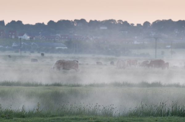 Domestic Cattle, herd grazing on misty coastal grazing marsh at dawn, Elmley Marshes N.N.R., North Kent Marshes, Isle of Sheppey, Kent, England, may