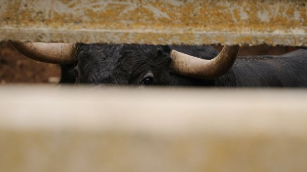 Domestic Cattle, Spanish Fighting Bull, fighting bull, close-up of head and horns, looking through gap in enclosure, preparing to be moved to bullring, Salamanca, Castile and Leon, Spain, september