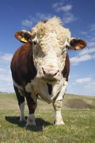 Domestic Cattle, Hereford bull, standing in hill pasture on organic farm, Powys, Wales, april~^