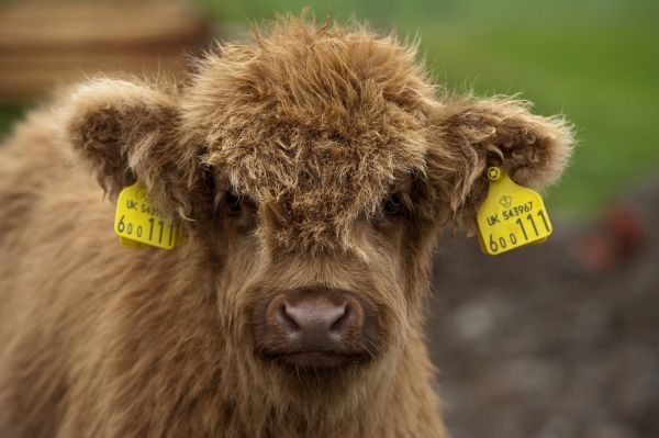 Highland Cattle, calf, with ear tags, close-up of head, Perthshire, Scotland
