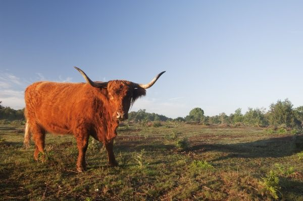 Highland Cattle, cow, standing in lowland heathland habitat at dawn, Hothfield Heathlands, Kent, England, july